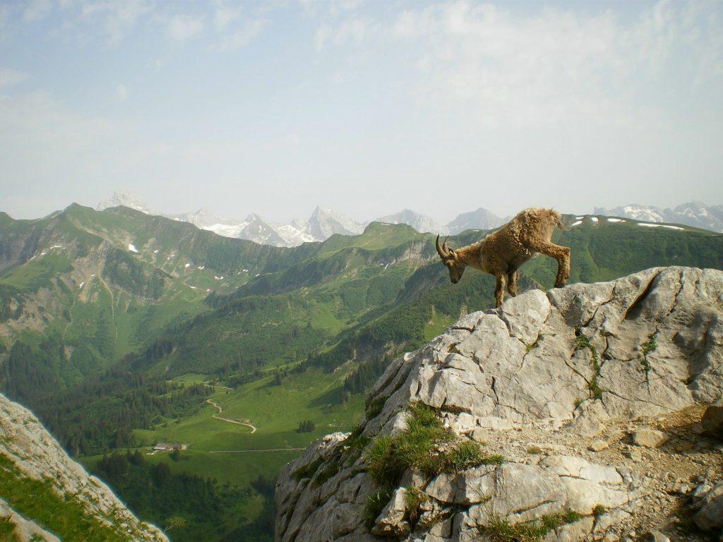 Un bouquetin escaladant la montagne